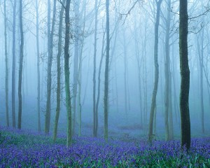 Foggy Woodlands